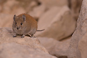 golden spiny mouse (Acomys russatus) Photographed in Israel in December