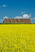 bales and canola crop in bloom<br /> near New Liskeard<br /> Ontario<br /> Canada