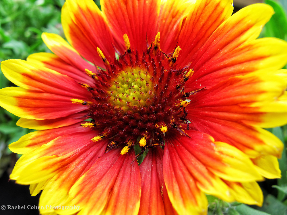 """""""Blanket Flower""""<br /> <br /> All dressed up in vibrant oranges, reds and yellows!!<br /> <br /> Flowers by Rachel Cohen"""