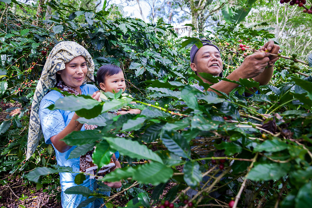Pak Rino (44) and his wife, Bariah (43), and daughter, Kalisa (9 months), pick cherries at their farm. Pak Rino has been a part Permato Gayo since 2009. Wanosari Village