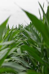 Corn (Maize) plant<br /> <br /> Finfrock State Natural Habitat Area (Illinois)