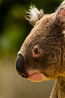 Koala Bear, Taronga Zoo, Sydney Harbor, Sydney, New South Wales, Australia