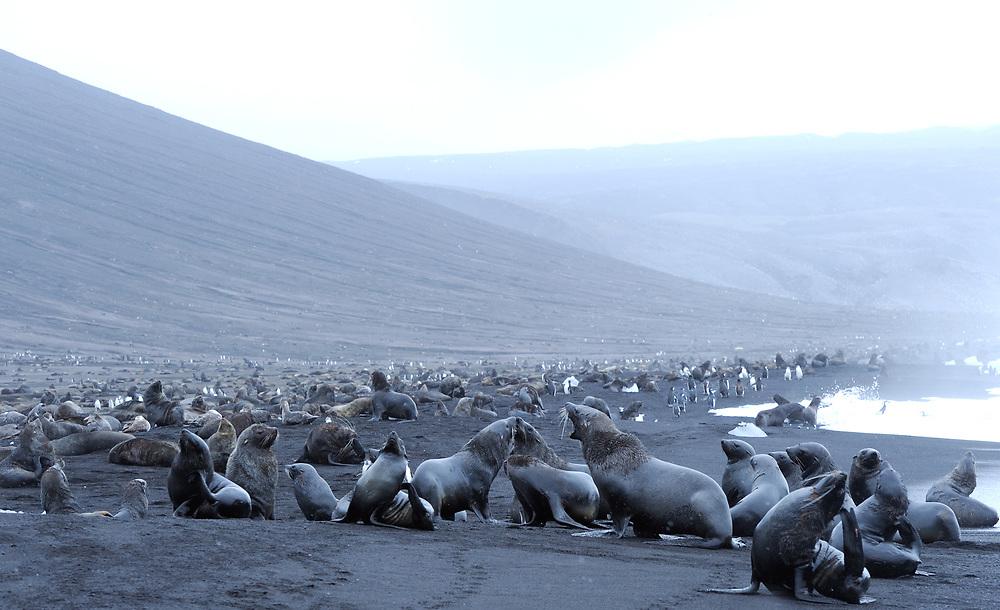 Antarctic fur seals (Arctocephalus gazella)  on black volcanic sand of the beach of Saunders Island. Saunders Island, South Sandwich Islands. South Atlantic Ocean. 25Feb16