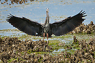 A Great Blue Heron (Ardea herodias fannini) lands on a bed of Pacific Oysters with its wings spread. Hood Canal of Puget Sound, Washington, USA