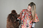 Pet's hairdresser grooming a brown medium poodle