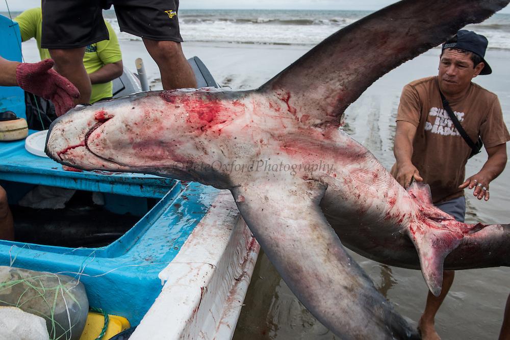 Unloading Shark (Alopias pelagicus)<br /> Crucita<br /> Manabi<br /> Ecuador<br /> South America