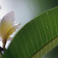 Fiji Islands, botanical, frangiapani blossom, plumeria