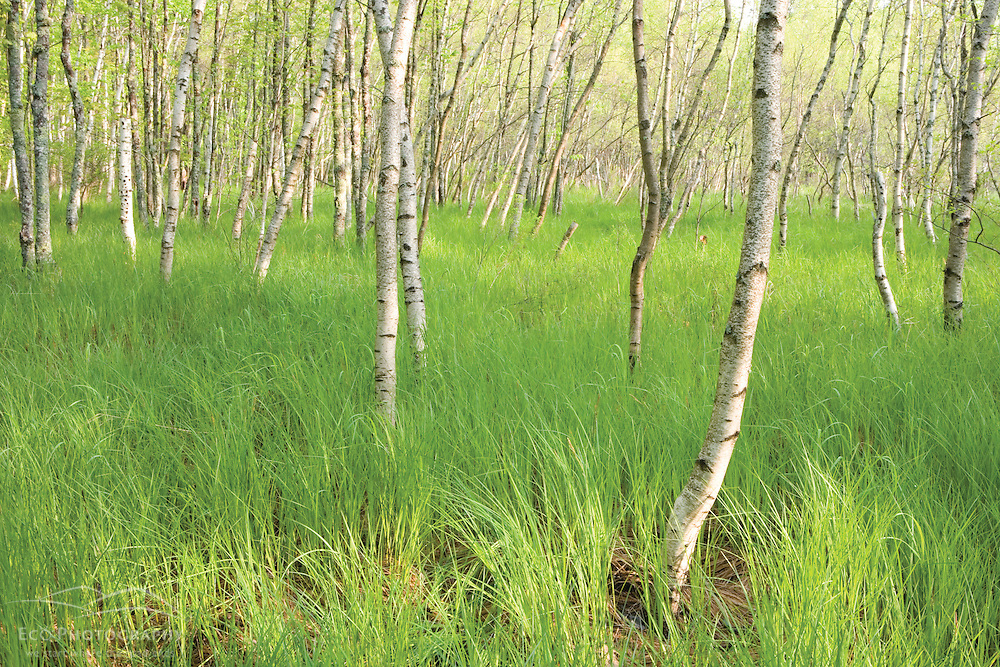 Paper birch trees, Betula papyrifera, on the edge of Great Meadow near Sieur de Monts Spring in Maine's Acadia National Park.