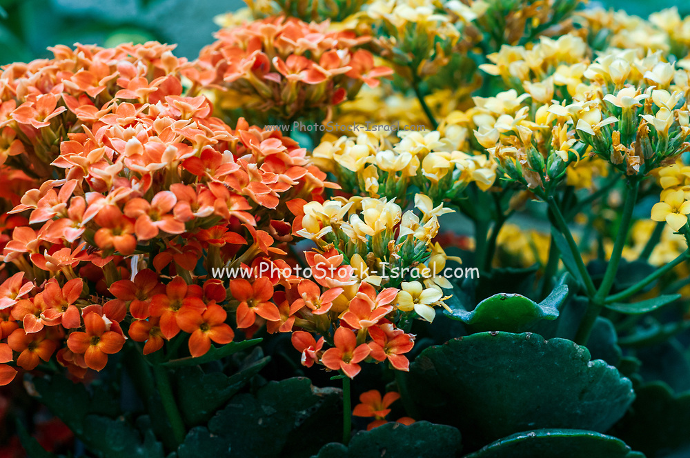 Potted Kalanchoe flowers (Kalanchoe blossfeldiana). Photographed in Israel in April. Commonly cultivated house plant of the genus Kalanchoe native to Madagascar. It is known by the English common names flaming Katy, Christmas kalanchoe, florist kalanchoe and Madagascar widow's-thrill.. Photographed in Israel in May
