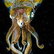 Caribbean reef squid (Sepioteuthis sepioidea) eating fish. Bahamas.