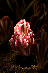 Forced Chicory 'Rossa di Treviso' illuminated by torchlight in the chicory forcing shed at Audley End. Cichorium