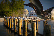 A brown pelican dominates two rows of royal terns lined along pilings in front of the ruins of the dome house of Cape Romano, south of Marco Island, FL