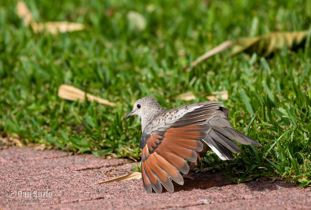 Inca Dove, Columbina inca, stretches its wings in the gardens of the Hotel Bougainvillea, Santo Domingo de Heredia, Costa Rica