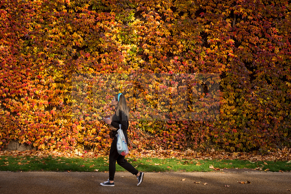 © Licensed to London News Pictures. 13/11/2020. LONDON, UK.  A woman passes the colourful display of Virginia Creeper which covers the wall of the Admiralty Citadel, a former Second World War fortress, in Horse Guards Parade adjacent to St. James's Park.  Photo credit: Stephen Chung/LNP