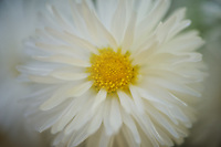 A perfect Shasta Daisy with all of its lglorious layers of petals.