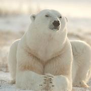 A male Polar Bear in very high winds near Cape Churchill, Manitoba, Canada.