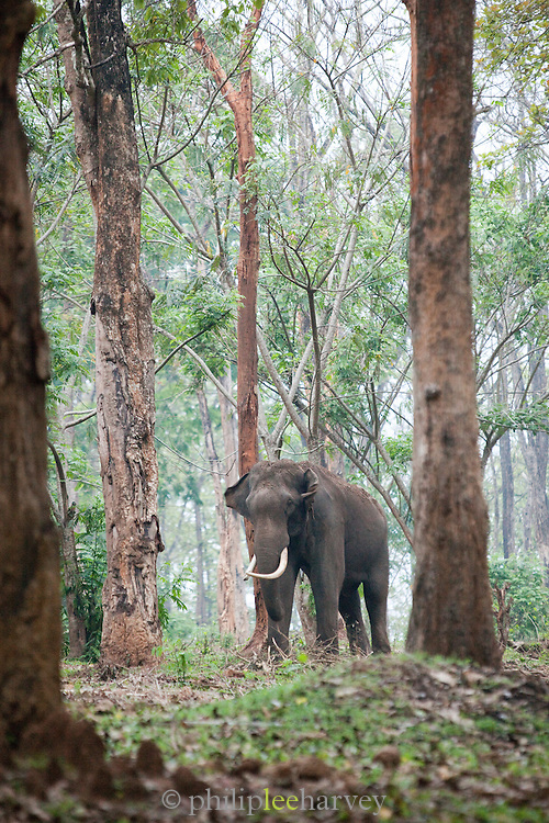 An old, Indian Elephant at Muthanga Wildlife Sanctuary in Wayanad, Kerala, India