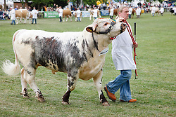 Prize-winning cattle at the Grand Parade, Newark Show 2009