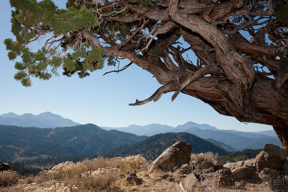 """""""Juniper Tree 4"""" - This very old juniper tree was photographed along Monitor Pass, California."""