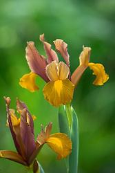 Iris x hollandica 'Lion King' - Dutch iris