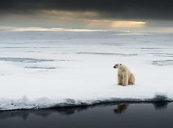 Polar bear (Ursus maritimus) in Svalbard, Norway