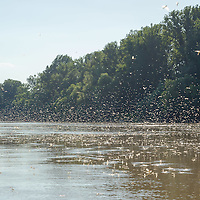 Tourists view from a boat the yearly swarming of the long-tailed mayfly (Palingenia longicauda) called Tiszaviragzas (Blooming of Tisza) on the river Tisza in Tiszainoka (some 135 km south-east from Budapest), Hungary on June 20, 2012. ATTILA VOLGYI