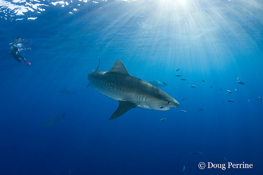 underwater photographer Stefanie Brendl and tiger sharks, Galeocerdo cuvier, North Shore, Oahu, Hawaii, USA ( Central Pacific Ocean ); closest shark has parasitic leech on side of head; MR 389