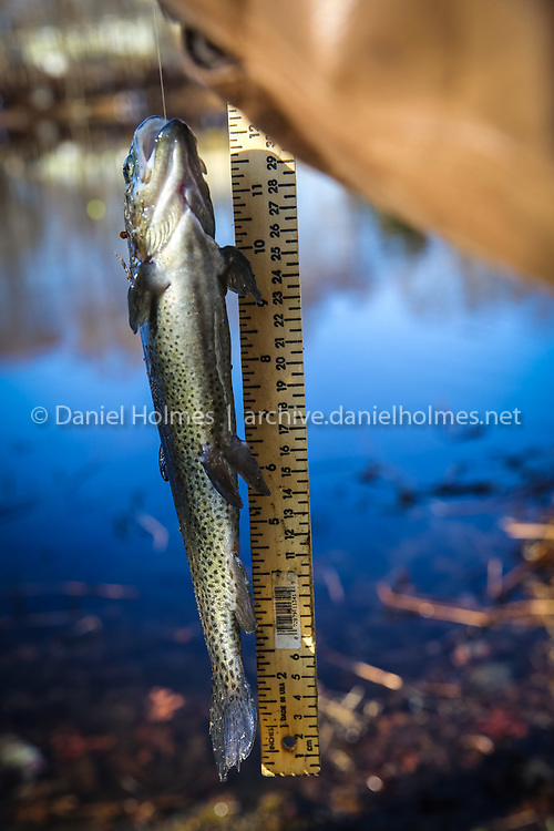 (4/12/14, HUDSON, MA) A rainbow trout is measured for length during the George Chiasson Memorial fishing derby at Tripps Pond in Hudson on Saturday. Daily News and Wicked Local Photo/Dan Holmes
