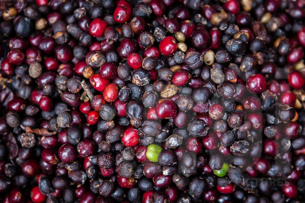 Raw coffee beans, Da Lat area, Vietnam, Southeast Asia
