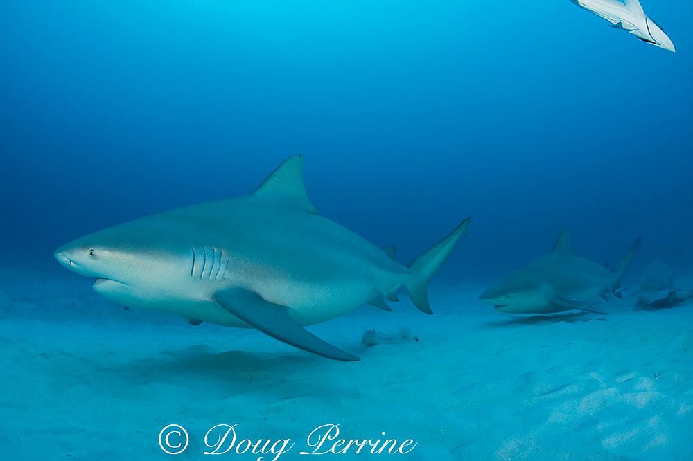 bull sharks, Carcharhinus leucas, females in seasonal breeding aggregation, Playa del Carmen, Cancun, Quintana Roo, Yucatan Peninsula, Mexico ( Caribbean Sea )