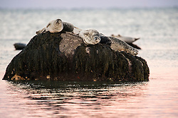 """This photograph is of a magical evening. When the full moon rises over Cape Cod Bay, the harbor seals haul out on small rocks scattered about along the shore and begin howling like a pack of wolves. There they can dry off and rest without fear of a shark attack.<br /> Harbor seals are common marine mammals along the East and West US coasts. They are often resting rocks or floating ice in glacial fjords with their head and rear flippers elevated in a crescent position.<br /> """"State-financed bounty hunters once hunted harbor seals in Washington and Oregon because they were considered competitors of fishermen. This hunting program ended in 1960.<br /> Harbor seals are protected under the Marine Mammal Protection Act.""""-NOAA.<br /> These are part of the western North Atlantic stock, one group of five in the USA."""