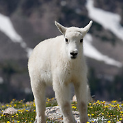 Mountain goat  young in spring flowers. Montana.