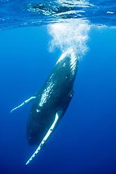 A sub-adult Humpback Whale, Megaptera novaeangliae, frolics near the surface. Moorea, French Polynesia, Pacific Ocean