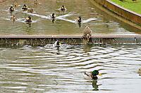 Mallard ducks in Bellevue's Downtown Park canal