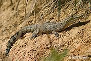juvenile Morelet's crocodile, Belize crocodile, or Central American crocodile, Crocodylus moreletii (c) basking in sun, Belize Zoo, Belize, Central America
