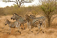 A herd of zebra, Kruger National Park, South Africa