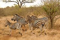 A herd of zebra, Kruger National Park, South Africa