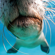 This is what it looks like when a friendly Australian sea lion pup (Neophoca cinerea) gives the camera a kiss on the dome port.