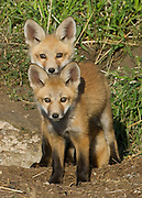 Two Red Fox Kits exploring outside the den.