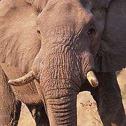 African Elephant, (Loxodonta africana) Portrait of adult in the acacia bushveld. Kruger National Park.