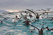 Dozens of sea  birds, including albatross and petrels, congregate on the Pacific Ocean off the coast of Kaikoura, New Zealand.