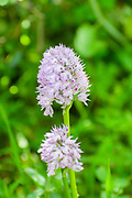 Neotinea tridentata; the three-toothed orchid; is a species of orchid found in southern Europe from Spain to Turkey; northwards to the Crimea; Poland and Germany. This orchid favours grassy places; Photographed in Israel in March