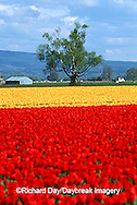67221-007.20 Lone tree and red & yellow tulips in field  Skagit Valley  WA