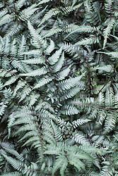 Athyrium niponicum var.pictum 'Silver Falls'. Japanese Painted Fern