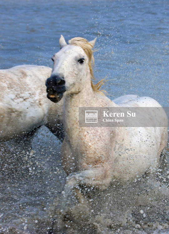 Camargue horses running to cross the river, South France