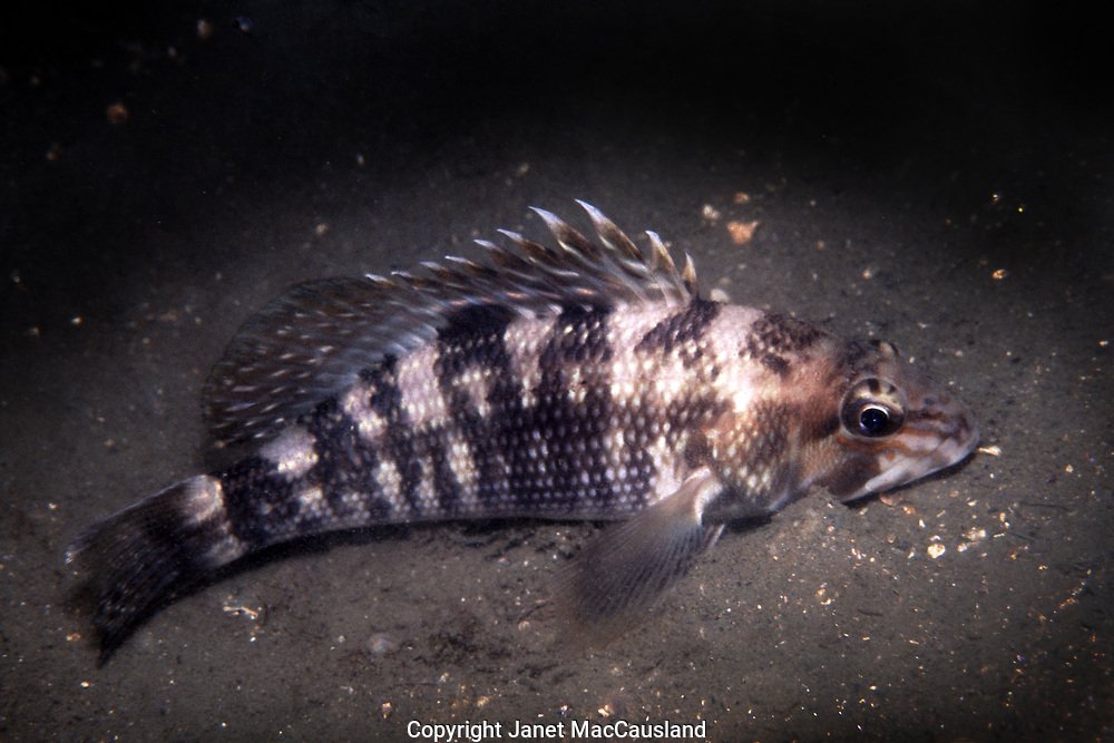 """A Black Sea Bass (Centropristis striata) are easily approached at night as they rest on the bottom. The black sea bass (Serraninae) is a ray-finned marine fish, related to groupers and anthias. They may reach 26"""" and 9 pounds."""