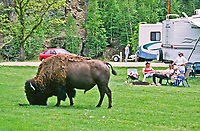 Bull Bison, Bison bison, grazing on the lush green grass at the Grace Coolidge campground.  Custer State Park, South Dakota.