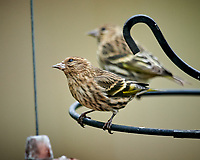 Pine Siskin. Image taken with a Nikon D850 camera and 600 mm f/4 VR lens