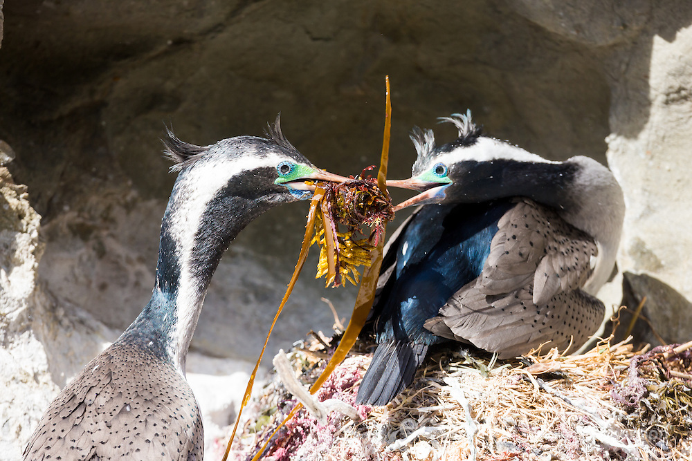 A spotted shag (Stictocarbo punctatus) in breeding plumage, presents seaweed to its mate at the nest during courtship. Ohau Point, Canterbury, New Zealand. September.