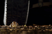 Erkröten-Paar (Bufo bufo) auf der Wanderung zum Laichgewässer. Die Tiere wandern mitunter mehrere Kilometer bis zum Laichgewässer, dabei überqueren sie auch Straßen und werden dann von den Autos nicht selten überrollt.  Selent, Deutschland